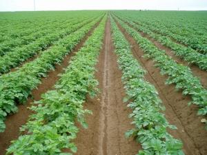 Champ de plants pomme de terre