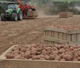 Chantier de récolte de pomme de terre