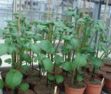 Plants de pomme de terre en serre